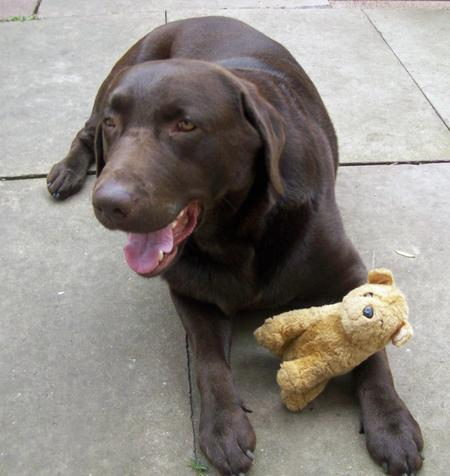 Charlie the Labrador Retriever Pictures 407802