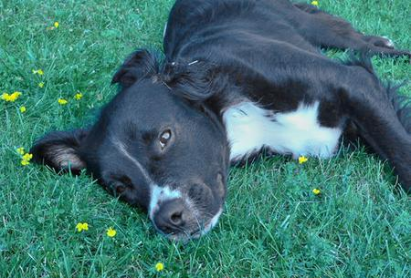 Linus the Border Collie Pictures 70048