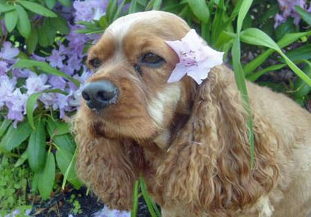 Ginger the Cocker Spaniel Pictures 64489
