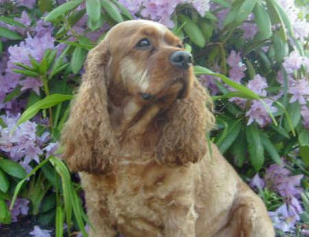 Ginger the Cocker Spaniel Pictures 64491