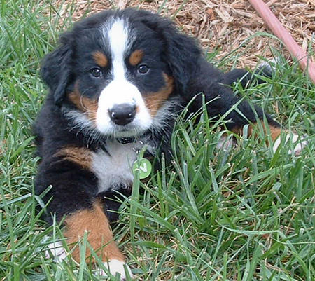 Big Boy Nelson the Bernese Mountain Dog  Pictures 176009