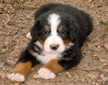 Big Boy Nelson the Bernese Mountain Dog  Pictures 176004