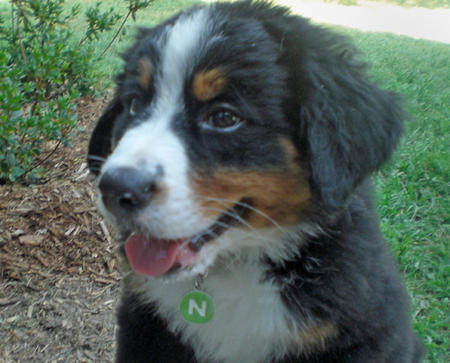 Big Boy Nelson the Bernese Mountain Dog  Pictures 176008