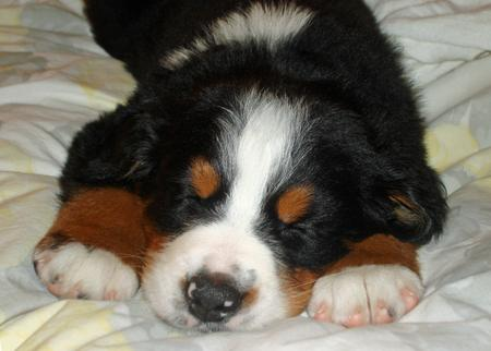 Big Boy Nelson the Bernese Mountain Dog  Pictures 176007