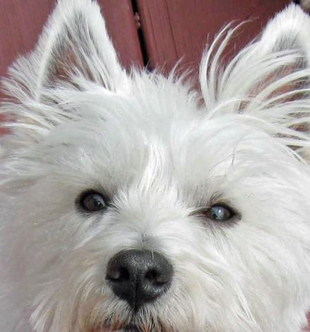 Charlie the West Highland Terrier Pictures 71384