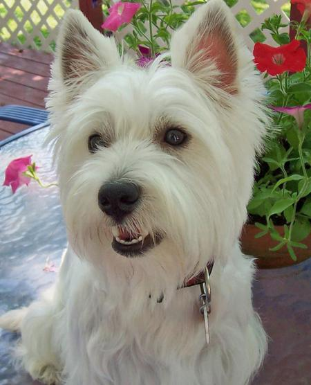Charlie the West Highland Terrier Pictures 71387