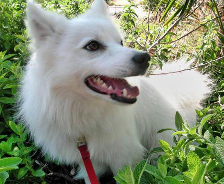 Eskie the American Eskimo Pictures 67053