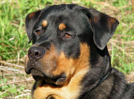 Marlow the Rottweiler Pictures 102909