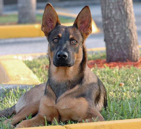 Roarke the Belgian Malinois Mix Pictures 69797