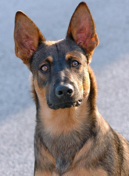 Roarke the Belgian Malinois Mix Pictures 69793