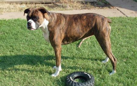Nilla the Boxer Pictures 75227