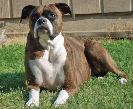 Nilla the Boxer Pictures 75226