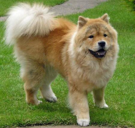 Rosie the Chow Chow Pictures 73639