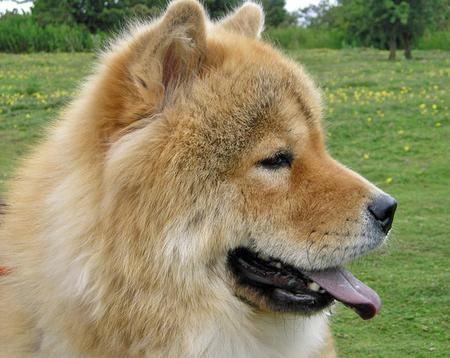 Rosie the Chow Chow Pictures 73637