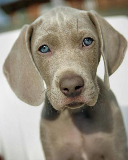 Slade the Weimaraner Pictures 77508