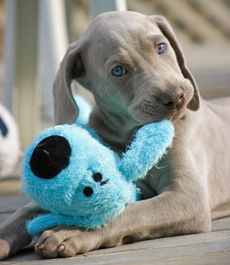 Slade the Weimaraner Pictures 77509