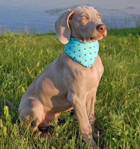 Slade the Weimaraner Pictures 77503