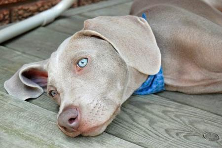 Slade the Weimaraner Pictures 77499