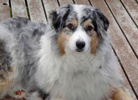 Dazy the Australian Shepherd Pictures 75661