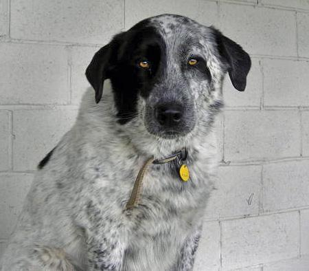Mac the Catahoula Mix Pictures 75678