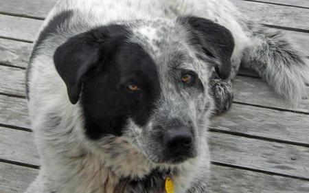 Mac the Catahoula Mix Pictures 75681