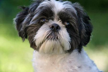 Oreo the Shih Tzu Pictures 80687