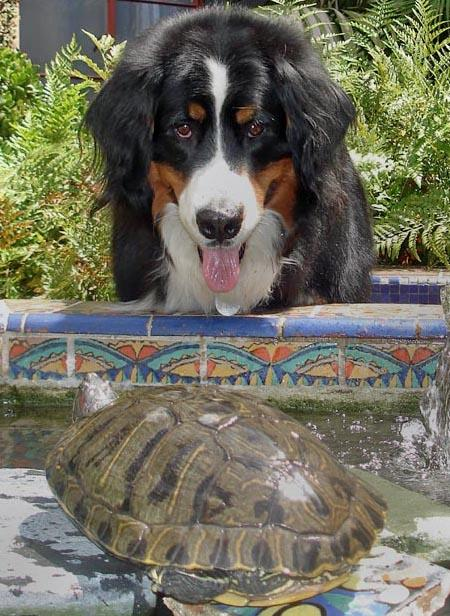 Sam the Bernese Mountain Dog Pictures 75613