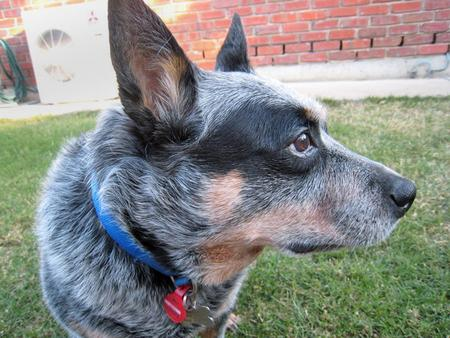 Kelly the Blue Heeler Pictures 77033