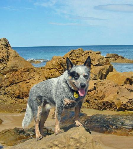 Kelly the Blue Heeler Pictures 77029