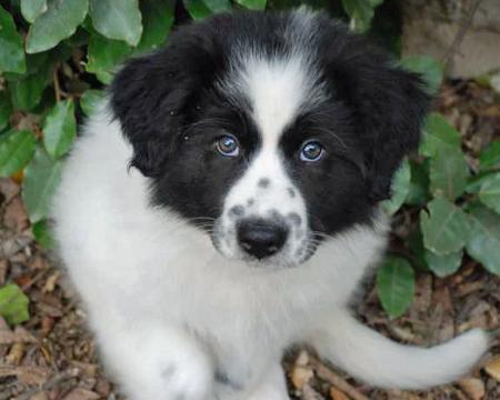 Addie the Great Pyrenees Mix Pictures 77566