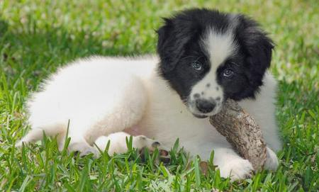 Addie the Great Pyrenees Mix Pictures 77569