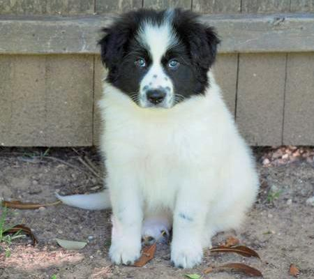 Addie the Great Pyrenees Mix Pictures 77568
