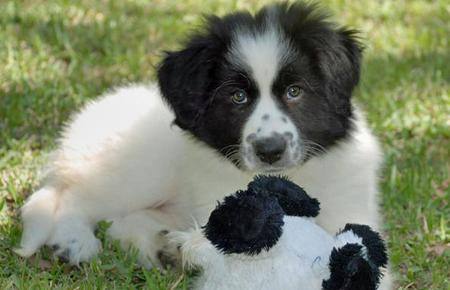 Addie the Great Pyrenees Mix Pictures 77571