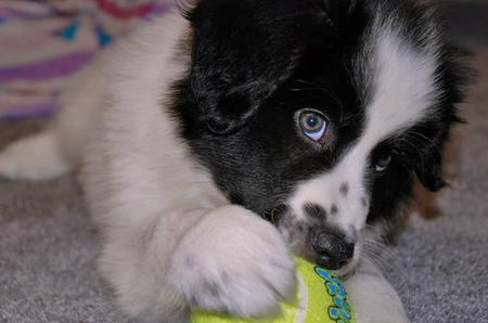 Addie the Great Pyrenees Mix Pictures 77570