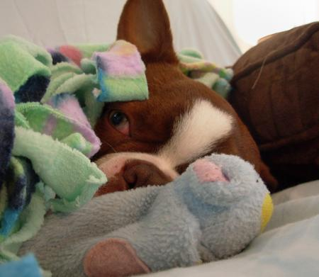 Gingerbread the Boston Terrier Pictures 168978