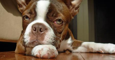 Gingerbread the Boston Terrier Pictures 168975