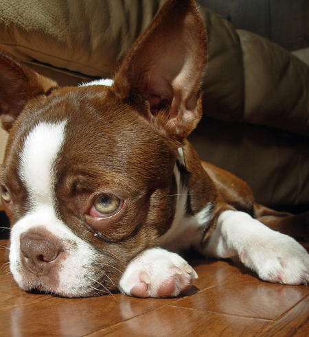 Gingerbread the Boston Terrier Pictures 168974