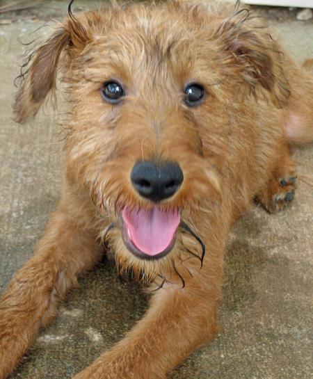 Macksie the Irish Terrier Pictures 78303