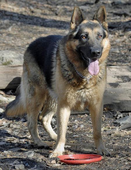 Maxwell the German Shepherd Pictures 79139