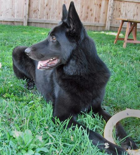 Newton the German Shepherd Pictures 80518