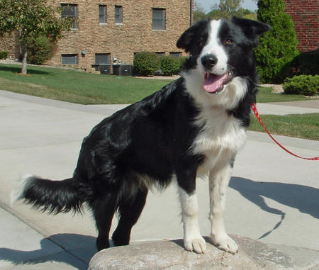 Champ the Border Collie Pictures 124307