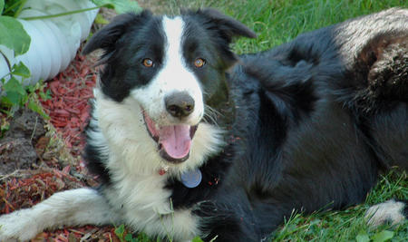 Champ the Border Collie Pictures 124304