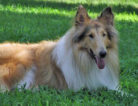 Honey Bear the Collie Pictures 84454