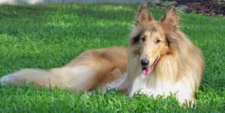 Honey Bear the Collie Pictures 84452