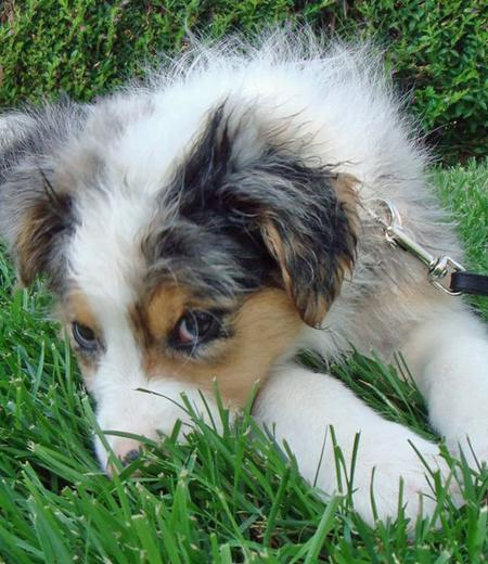 Bodie the Australian Shepherd Pictures 84246