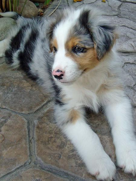 Bodie the Australian Shepherd Pictures 84245
