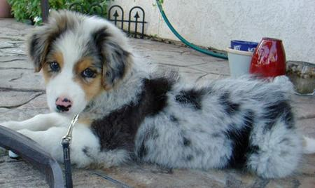 Bodie the Australian Shepherd Pictures 84256