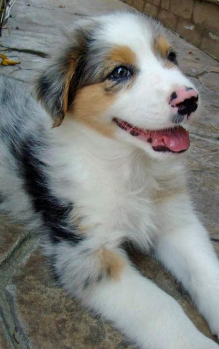 Bodie the Australian Shepherd Pictures 84243