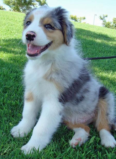 Bodie the Australian Shepherd Pictures 84244