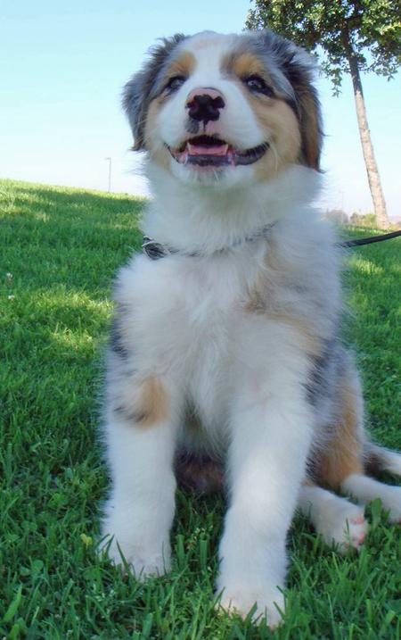 Bodie the Australian Shepherd Pictures 84251